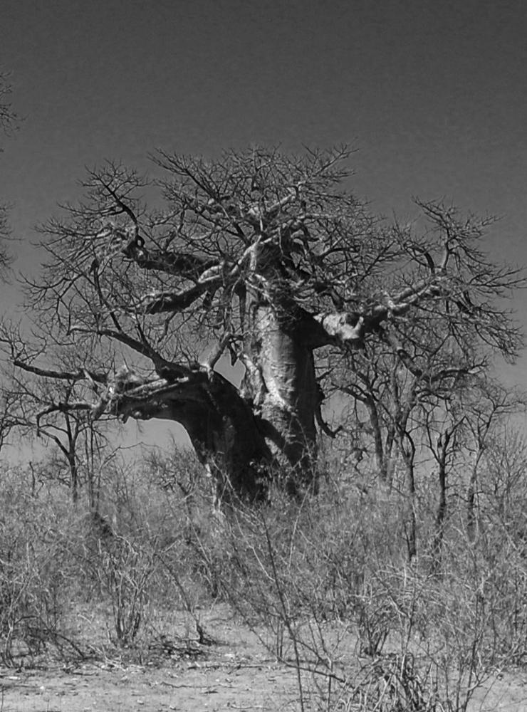 old baobab