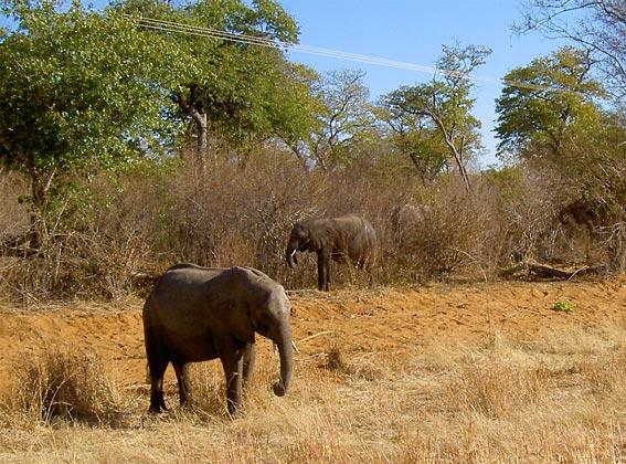 flock elephant