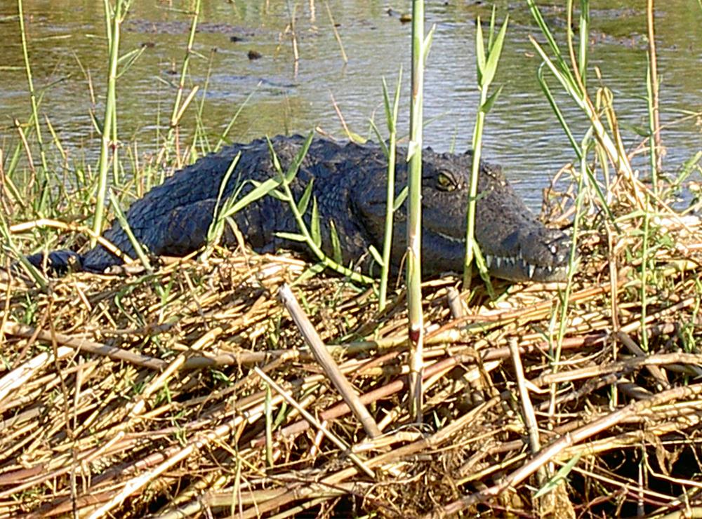 okavango crocodile