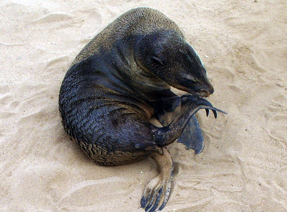 baby lion-sea