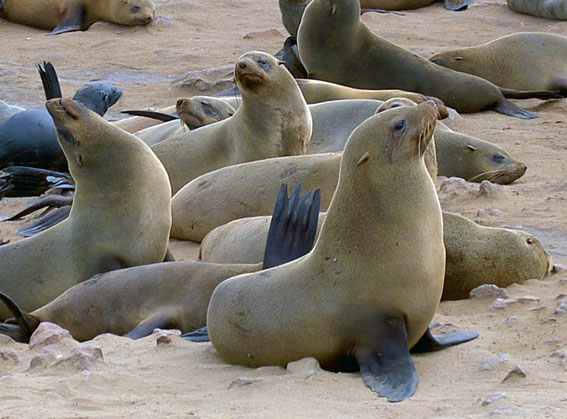 fur seals cape cross