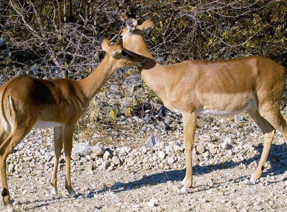 impala etosha